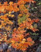 Cukier klonowy liść w kolory jesieni — Zdjęcie stockowe