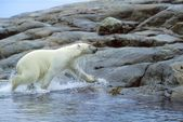 Polar Bear Running Onto Shore — Stock Photo
