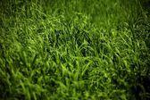 Field Of Green Crop — Stock Photo
