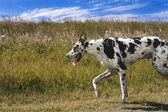 A Harlequin Great Dane Running — Stock Photo