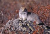 Arctic Ground Squirrel On A Rock — Stock Photo