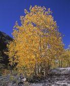 Aspen Trees In Autumn — Stock Photo