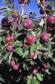 Apples Growing On Trees — Stock Photo