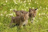 Bobcat Kittens — Stock Photo