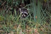 Young Common Raccoon Hiding In Tall Grass — Stock Photo