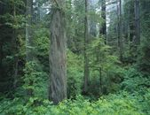 Redwood Forest, California, Usa — Stock Photo