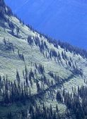 Evergreen Forest On Snowy Mountainside, Glacier National Park — Stock Photo