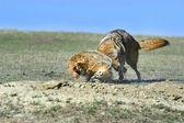 Coyote And Badger Fight Over Prey — Zdjęcie stockowe