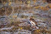A Willow Ptarmigan Sitting On The Snowy Autumn Tundra — Stock Photo