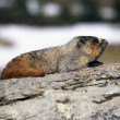 Stock Photo: Hoary Marmot On Rock