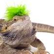 Bearded Dragon Lizard With Mohawk — Stock Photo #31707129