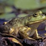 Close-Up Of A Bullfrog — Stock Photo #31707733