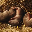 Stock Photo: Close-Up Of Three Baby Field Mice In Nest