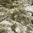 Stock Photo: Evergreen Laced In Snow