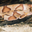 Стоковое фото: Northern Copperhead Snake