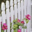Stock Photo: White Picket Fence And Roses
