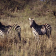 Zebras — Stock Photo #31708385