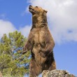 Grizzly Bear Standing On Ridge — Stock Photo #31708447