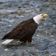 Bald Eagle — Stock Photo #31708593