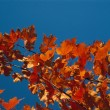Autumn Color Maple Tree — Stock Photo