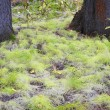 White Pine Seedlings — Stock Photo