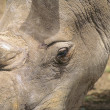 Close Up Rhinoceros Head — Stock Photo #31708875