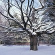 Snow Covered Maple Tree — Stock Photo #31708937