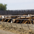 Stock Photo: Cattle Feeding