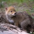 Stock Photo: Coyote Pup