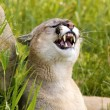 Stock Photo: Cougar Snarling