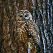 Mexican Spotted Owl Camouflaged Against Tree Bark — Stock Photo