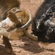 Stock Photo: Goats Fighting