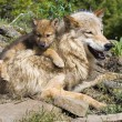 Wolf Cub And Mother At Den Site — Stock Photo #31709517