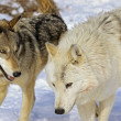Stock Photo: Members Of Wolf Pack