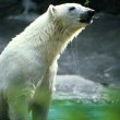 Polar Bear In Water, Twig In Mouth. — Stock Photo