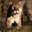 Stalking Mountain Lion — Stock Photo #31709917