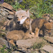 Wolf Cubs And Mother At Den Site — Stock Photo #31709949