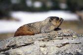 Hoary Marmot On Rock — Stock Photo