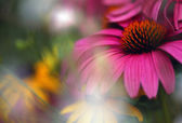 Purple Cone Flower With Soft Focus — Stock Photo