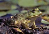 Close-Up Of A Bullfrog — Stock Photo