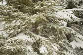 Evergreen Laced In Snow — Stock Photo