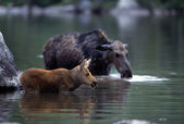 Moose And Calf In Water — Foto de Stock