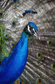 Peacock Showing Plumage — Stock Photo