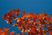 Autumn Color Maple Tree — Stock Photo