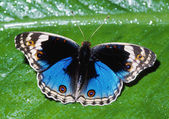 Modrý motýl maceška — Stock fotografie