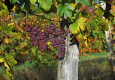 Grapes Ripening On The Vine — Stock Photo