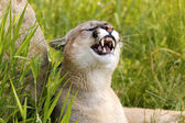 Cougar Snarling — Stock Photo