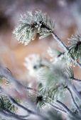 мороз на ветви дерева сосна — Стоковое фото