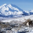 Caribou In Alaska — Stockfoto #31710193