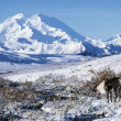 Foto Stock: Caribou In Alaska